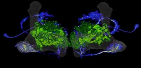 Two kinds of dopamine neurons highlighted in the fruit fly brain