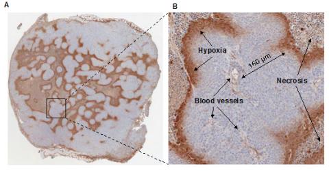 Tumour Hypoxia Group 1