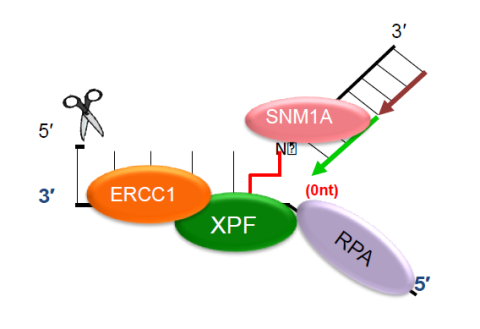 XPF-ERCC1 endonuclease initiates ICL repair in collaboration with RPA and the MBL-fold nuclease SNM1A
