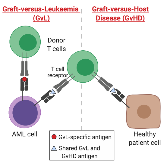 Donor T cells recognise antigens displayed on the surface of patient cells. If these antigens are expressed on acute myeloid leukaemia (AML) cells, they may lead to a therapeutic graft-versus-leukaemia (GvL) response. If antigens are also expressed on healthy patient cells, they may lead to harmful graft-versus-host disease (GvHD)