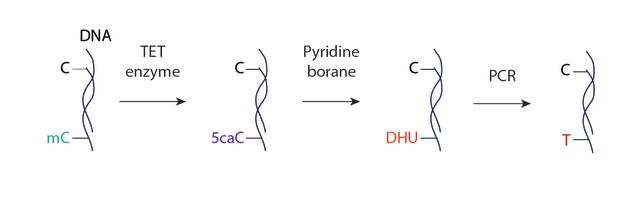Figure: Overview of the TAPS chemical biology method for bisulphite-free, base-resolution, and direct sequencing of DNA methylation. Ten-eleven translocation (TET) enzyme oxidation of methylated cytosine (mC) to 5-carboxylcytosine (5caC) is followed by pyridine borane reduction of 5caC to dihydrouracil (DHU). Subsequent polymerase chain reaction (PCR) converts DHU to thymine, enabling a C-to-T transition of mC. By comparing to a reference genome sequence, it is possible to identify the cytosine bases that have been converted to thymine during TAPS and therefore those that were methylated.