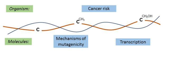 Research themes of the Kriaucionis lab, investigating cytosine, methyl cyotsine and hydroxymethylcytosine in cancer risk, mechanisms of mutatagenicity and transcription.