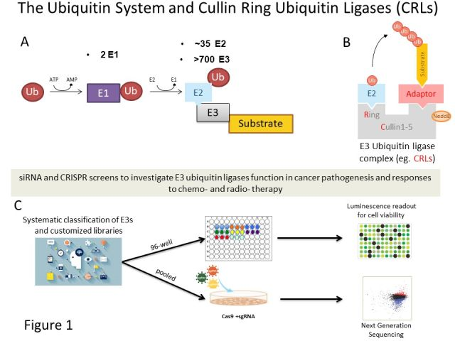 Cell Cycle and Ubiquitin Signalling 1