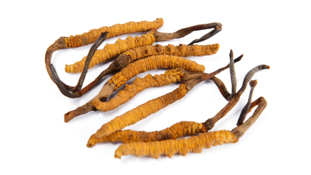 An image of the fungus Cordyceps sinensis. This fungus grows naturally on caterpillars at high altitudes in the Himalayas. Cordycepin is derived from Cordyceps sinensis, which has been used in traditional Chinese medicine for hundreds of years to treat cancers and other inflammatory diseases. Thanks to this Oxford University-NuCana partnership, a new drug called NUC-7738 has been derived from Cordycepin and is now being tested in clinical trials.