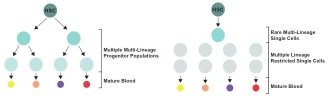 Figure 1. Mechanisms of haematopoietic differentiation: The schematic on the left depicts a classic model of differentiation with discrete progenitor cell types that bifurcate in a tree structure. The schematic on the right depicts an updated model where rare single cells have multi-lineage ability but the majority of single cells are lineage restricted.