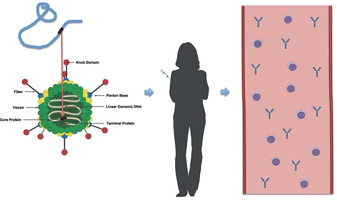 A single gene from the Ebola virus is transferred using DNA technology into the genetic material of the adenovirus vector. When administered to a volunteer, the adenovirus produces the protein from the gene along with its own proteins. The human immune system responds to the protein making immune cells and antibodies against teh Ebola virus. If the person then encounters the real Ebola virus, the immune system will recognise that single protein and the immune cells and antibodies will destroy the infection before the person becomes ill.