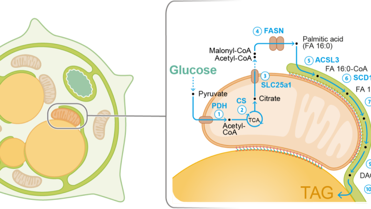 Spatial organization of fat metabolism.