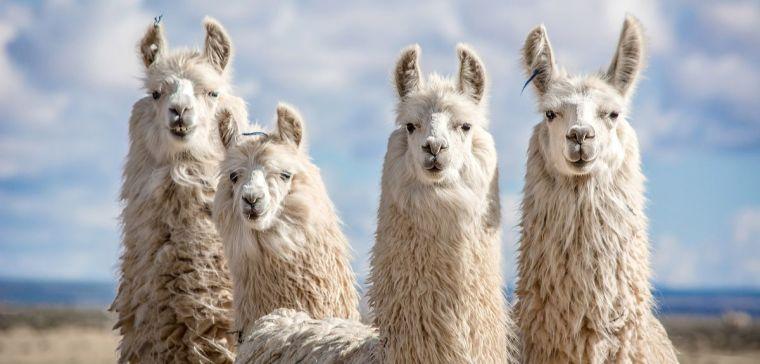 Four llamas