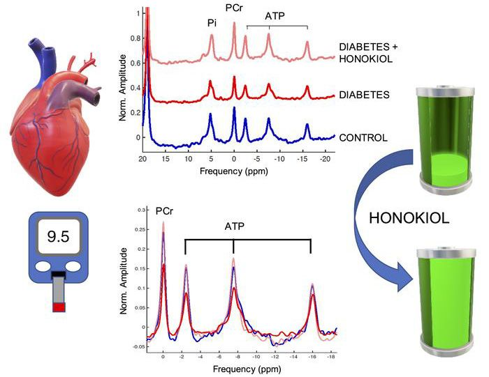 """Graphical abstract showing increased energy levels in the heart when mitochondrial deacetylase SIRT3 activator """"honokiol"""" is administered to the diabetic heart, compared to lower levels in the research control group."""