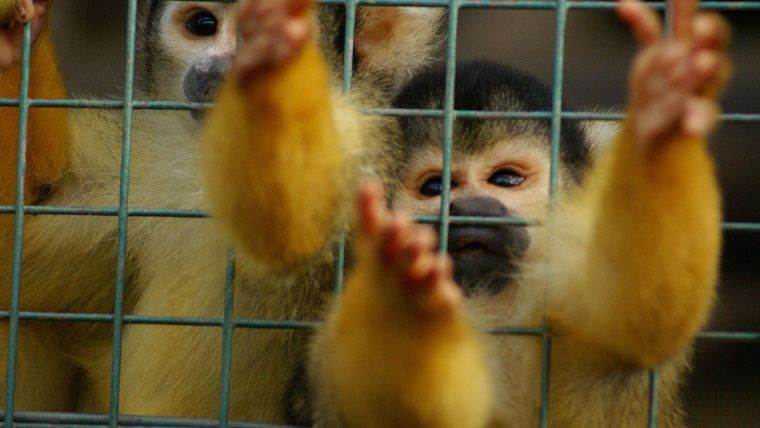 Squirrel monkeys in a cage.