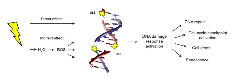 Cellular responses to DNA damage induced by ionizing radiation. The responses are DNA repair, cell-cycle checkpoint activation, cell death and senescence.