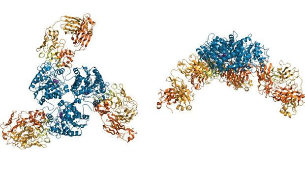 Crystal structure of arginase-2 antibody
