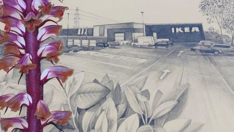 Illustration of the new variety of broomrape in an IKEA car park