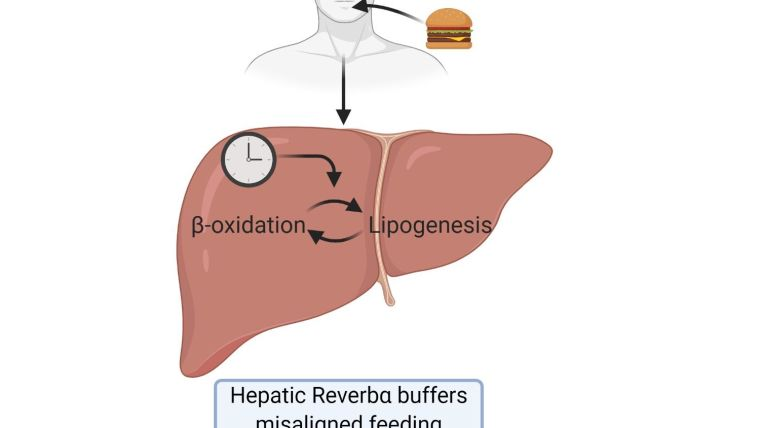 Schematic drawing showing male figure with food and liver drawing.