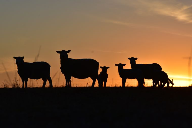 Sheep in a field with a sunset behind them