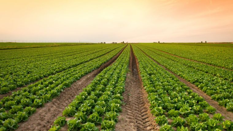 A large field of green crops