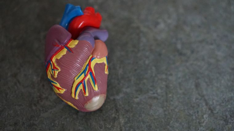 Photo of anatomical heart model
