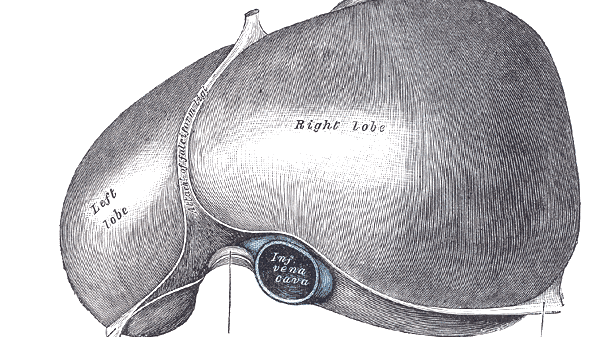 Line drawing of liver
