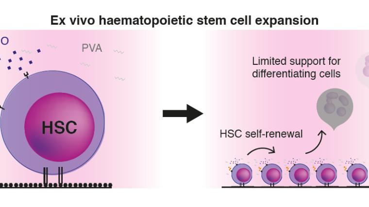 Ex vivo haematopoietic stem cell expansion graphic