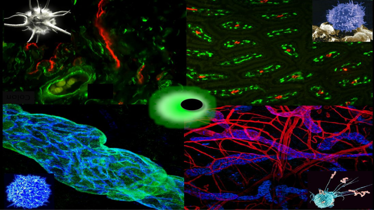 We focus on the mechanisms controlling the migration of leucocytes and tumour cells via lymph in health and disease.