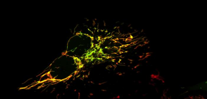 Mitochondrial PKA FRET-based sensor
