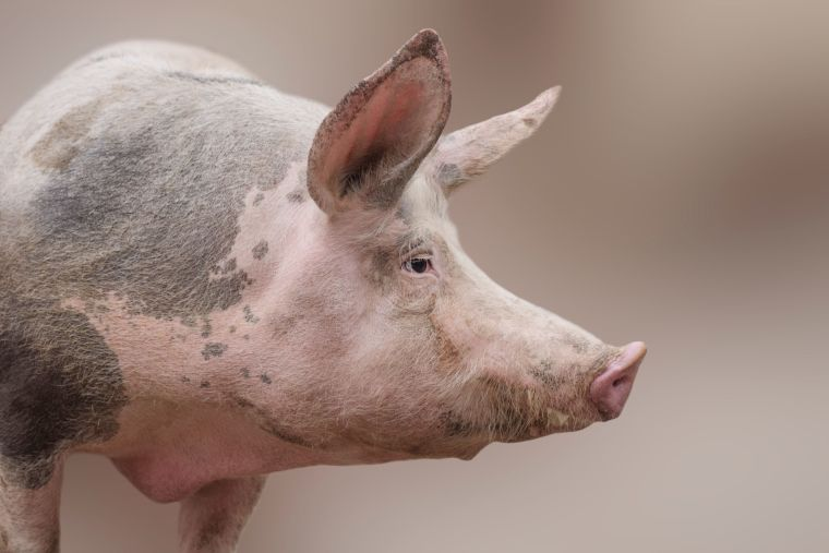 Photo of individual pig