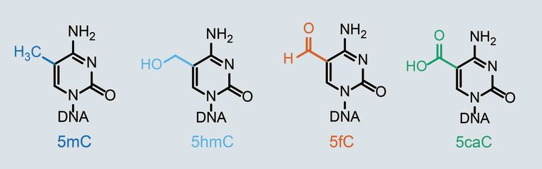 Cytosine modification examples
