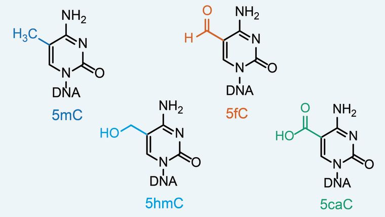 The chemical structures of the four modified cytosine bases in DNA: 5mC, 5hmC, 5fC and 5caC.