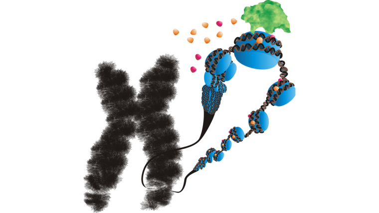 Artistic representation of a chromosome with a zoomed-in view of a looped-out segment of chromatin. DNA is wrapped around central cores of proteins like beads on a string. These core proteins are modified by an enzyme depositing coloured spheres represented the chemical modifications.