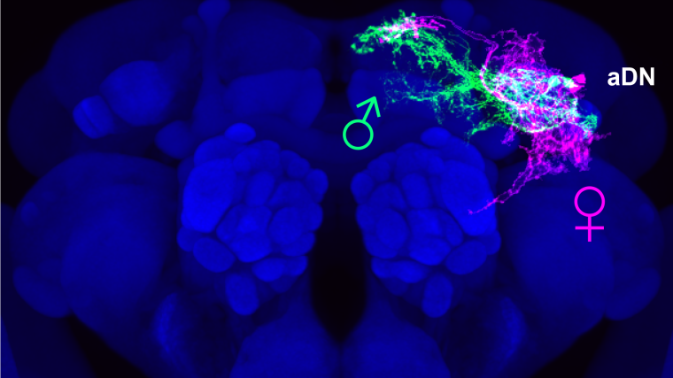 The brains of a male and female fly merged together shows an intertwined network of neurons in roughly the same position, demonstrating that neural activity in each brain is similar yet subtly different.