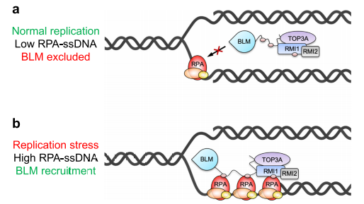 Low/High RPA-coated single-stranded DNA