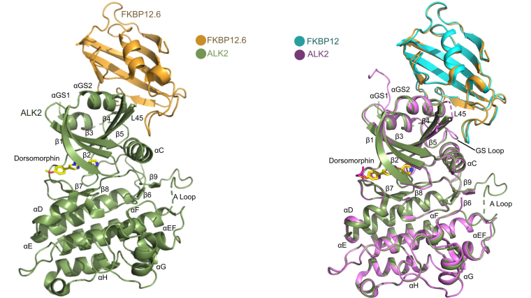 Biomedicines dorsomorphin FKBP12, FKBP12.6