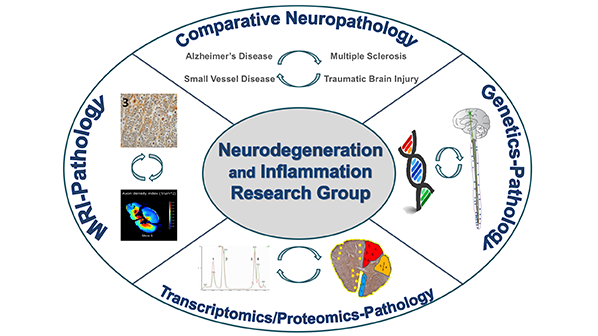 We explore the neuropathology of multiple sclerosis and other inflammatory and neurodegenerative diseases using a multidisciplinary team approach to post-mortem brain and spinal cord tissue.  The aim is that the understanding derived from these studies will translate into ideas for improved treatments for living patients.