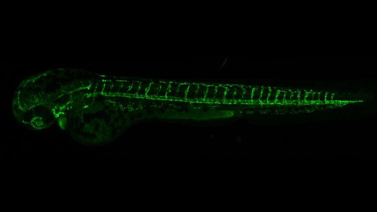 Fluorescence microscopy image of a zebrafish embryo