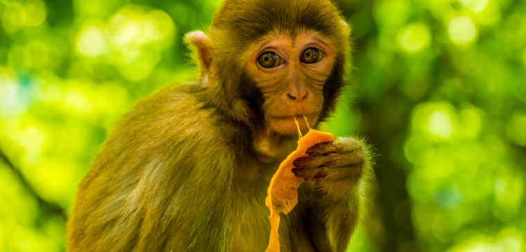 Photo of a brown monkey eating fruit
