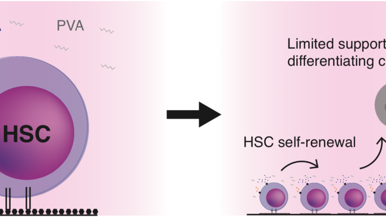 Haematopoietic stem cells (HSCs) support blood system homeostasis and are also used clinically in cell and gene therapies. We are interested in studying the biology of this important stem cell population and developing new HSC-based therapies.