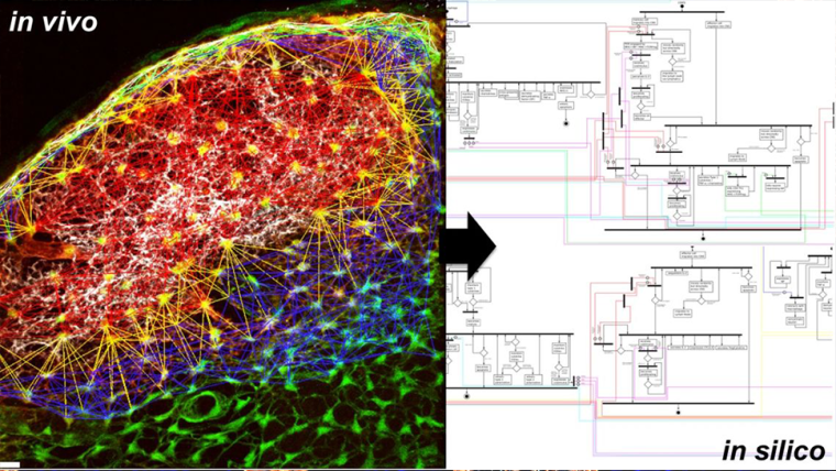 We take an interdisciplinary approach from single-molecule imaging to multi-scale computational modelling and experimental validation to identify and develop therapeutic strategies for immune-mediated inflammatory disease.