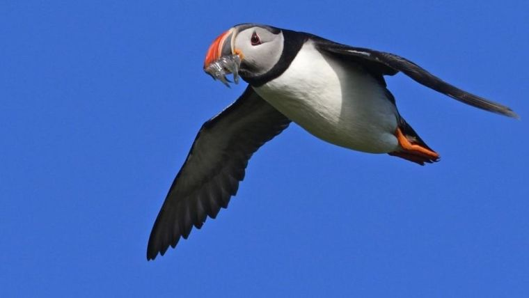 A puffin on Røst in Norway bringing small herring larvae for its chick