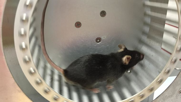 A single mouse running on a wheel