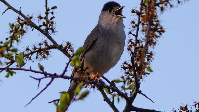 A male blackcap singing