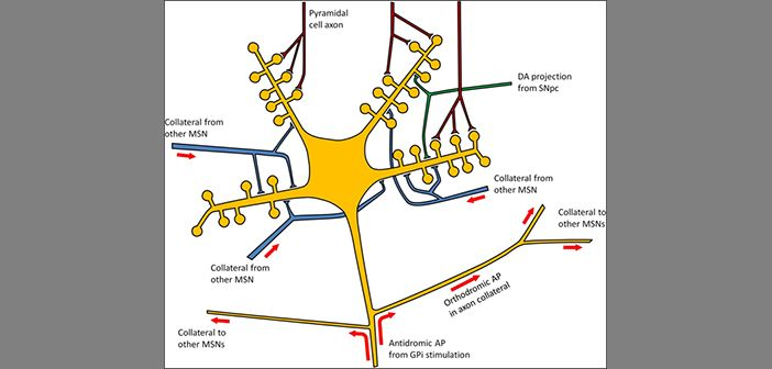 Schematic illustration of 'striatal damping' by antidromic activation of striatopallidal axons. DA, dopaminergic; SNpc, substantia nigra pars compacta