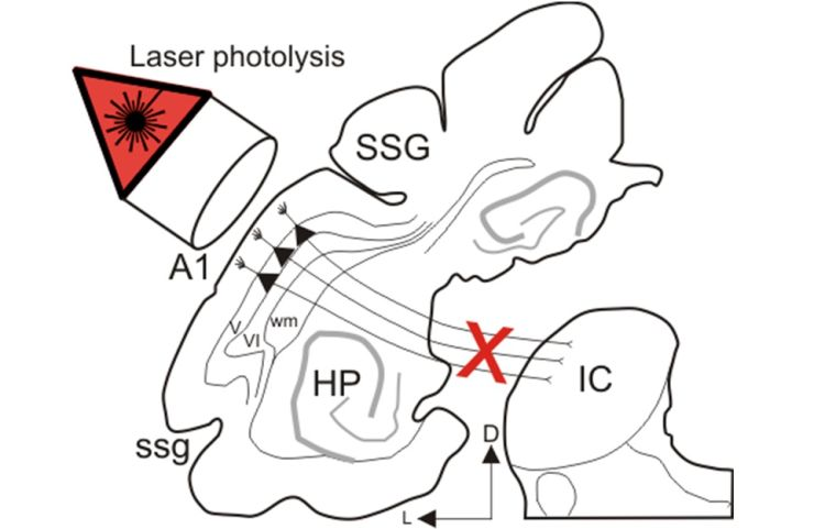 Neural basis for auditory learning and plasticity