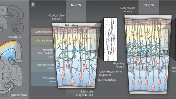 Early cortical development in human cerebral cortex