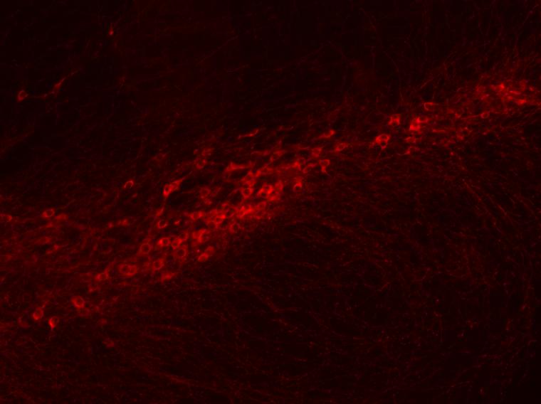 Dopamine neurons in the substantia nigra pars compacta
