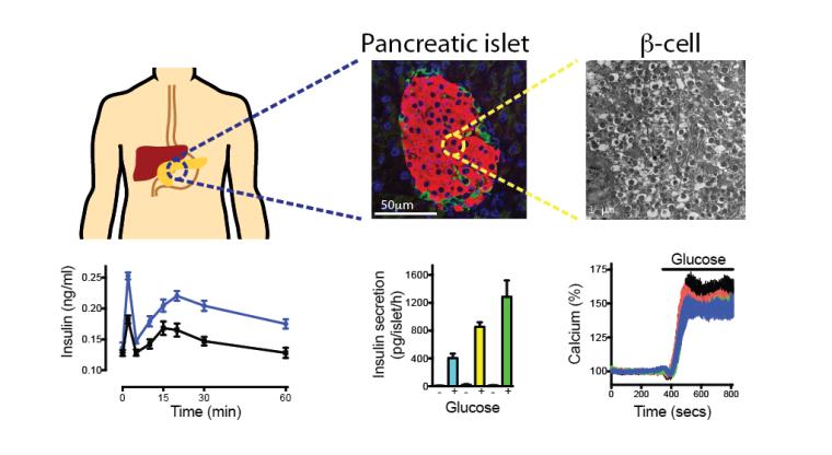 Pancreatic beta cells secrete insulin in response to metabolic demand to maintain glucose homeostasis.