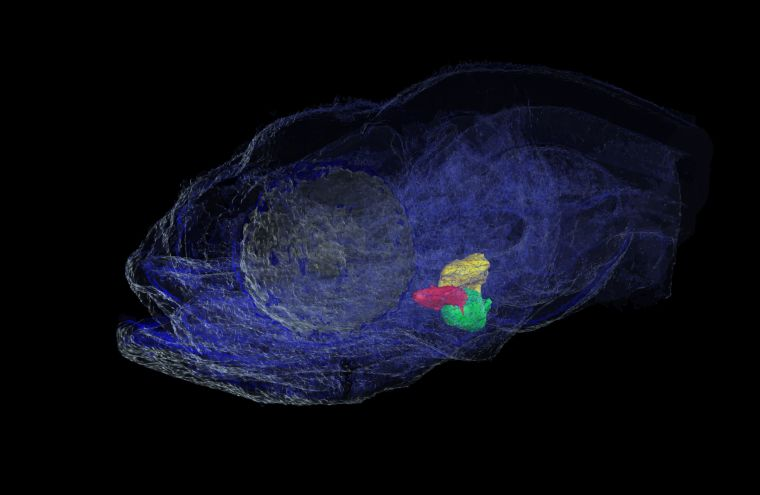 3D-reconstruction of a 5 day old surface fish with its heart highlighted, the ventricle in green, the atrium in yellow and the bulbus arteriosus in red.