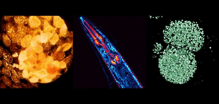 A range of multiphoton microscope images obtained using adaptive optics