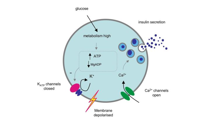ATP-sensitive potassium (K-ATP) channels, insulin secretion and diabetes