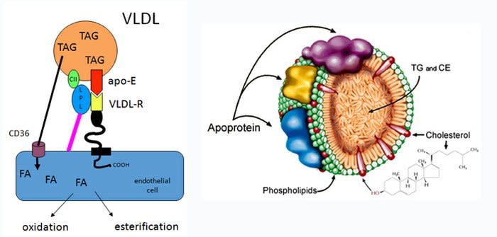 Triacylglycerol-rich lipoprotein - structure and uptake