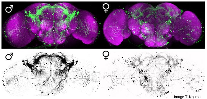 Sexually dimorphic expression of fruitless neurons in the CNS of Drosophila